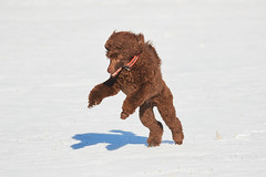 Jumping poodle in winter (Digikuvaaja) Tags: winter dog pet brown white snow playing cute sports beautiful animal playground fun toy outside mammal happy one freedom jumping movement pretty play action outdoor lifestyle sunny canine domestic agility catching poodle attractive doggy activity playful standardpoodle agile purebred