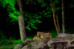 Asiatic lions (Stinkee Beek) Tags: nightsafari