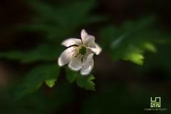 SPETTINATO (Lace1952) Tags: primavera italia natura piemonte fiore controluce mattina sottobosco vco spettinato croveo valleantigorio ossola nikond7100 nikkor50mmf1e4