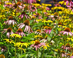 Powers of Flowers (jcdriftwood) Tags: dof echinacea bokeh depthoffield coneflower powers blackeyedsusan
