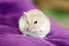 DSC_6812 () Tags: pet animal hamster