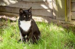 DSC_7801 (PiotrekSmyk) Tags: animals cat nikon outdoor di tamron 90mm vc f28 usd d7000
