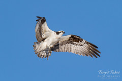 Osprey returns from Home Depot sequence - 5 of 27
