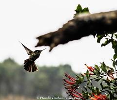 hermoso colibrí en el quintral (Clesto15) Tags: natural colibrí quintral