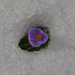 energia vitale (robra shotography []O]) Tags: life snow flower primavera ice closeup spring energy force awakening crocus forza neve fiore printemps vita springtime energia ghiaccio thawing croco risveglio crocusvernus disgelo