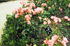 32-08-86 33 - Rose Festival Fanfare