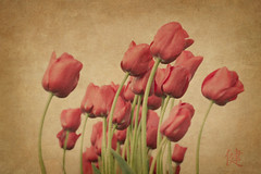 Red Tulips (EdBob) Tags: flowers red flower green art texture nature beautiful outdoors washington flora tulips artistic wind blossom tulip bloom skagit washingtonstate textured tulipfield skagitvalley skagitvalleytulipfestival blooming skagitcounty westernwashington tulipflowers washingtonstatetourism edmundlowe edmundlowephotography allmyphotographsare©copyrightedandallrightsreservednoneofthesephotosmaybereproducedandorusedinanyformofpublicationprintortheinternetwithoutmywrittenpermission