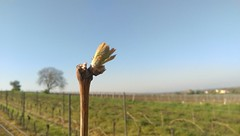123 Und es ward Frhling in den Weinbergen von Selzen #Rheinhessen (Frank Hamm) Tags: rheinhessen weinberge selzen
