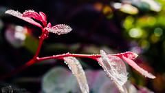 DSC_4587-1 (manupaulphotography) Tags: pink raindrops aftertherain