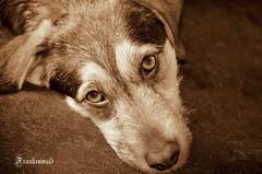 Look into the soul (svetlana momcilovic) Tags: dog animal eyes