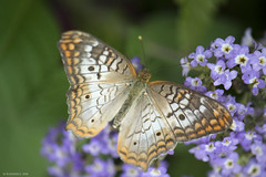 Butterfly 2016-32 (michaelramsdell1967) Tags: flowers white plant flower detail macro love nature beautiful beauty animal animals closeup butterfly bug garden insect photography hope spring nikon focus purple wildlife butterflies insects zen upclose