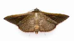 Tropical leaf moth (1/4) (arian.suresh) Tags: india moth lepidoptera animalia arthropoda andhrapradesh insecta hexapoda pterygota neoptera nellore thyrididae ditrysia pyraloidea striglininae mothsofindia heteroneura glossata banisia panorpida tineina skanfarmhouse 750d2016img5560 ariansuresh