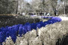 Fiume di fiori (ItBep5) Tags: show life park red sun plant flower dutch field amsterdam spring symbol blossom shades petal flowerbed dew tulip bloom keukenhof blooming netherlans