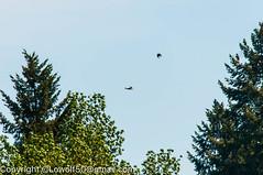 RedTail Hawk18_DSC5215.jpg (orig_lowolf) Tags: usa bird oregon nikon flickr hawk crows frontyard attacking lakeoswego d300s sigma150500mmf563afapodgoshsmtelephotozoom
