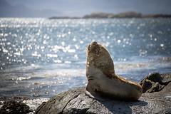 Fur Seal (Arctocephalus australis) - Ushuaia, Argentina (pas le matin) Tags: voyage ca travel sea wild patagonia sun mer southamerica argentina argentine animal canon tierradelfuego ushuaia bokeh outdoor seal 5d canon5d sauvage furseal terredefeu arctocephalusaustralis 5dmkiii canoneos5dmkiii