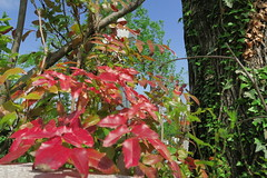 IMG_1955 (CrisMali) Tags: cemetary brightred bellugraveyard everredbush