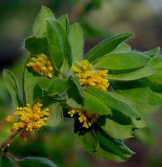 Grevillea pimeleoides, Kings Park, Perth, WA, 24/03/16 (Russell Cumming) Tags: plant perth kingspark westernaustralia grevillea proteaceae grevilleapimeleoides