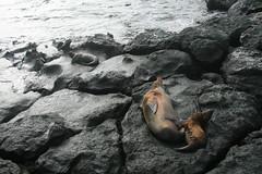 IMG_7616 (chupalo) Tags: sealions lavarocks islasplaza