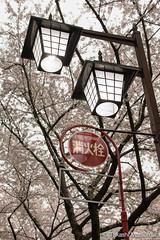 Fire Hydrant (takashi_matsumura) Tags: street light lamp japan hydrant cherry fire tokyo nikon blossoms nakano  sakura   d5300