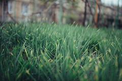 Sharp (Frostroomhead) Tags: plants green nature grass nikon bokeh f14 sigma 30mm d5200