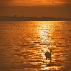 Golden sea (Stefan Sellmer) Tags: sunset sun germany lights swan outdoor kiel schleswigholstein goldenlight goldensea balticcoast kielfjord