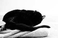 Assam's Sunlight Nap (sjrankin) Tags: california light animal northerncalifornia cat zoom edited grayscale assam 27april2016