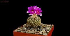 Pelecyphora  strobiliformis 2 (Nyxtofulakas) Tags: cactus flower nature succulent pinecone cactaceae spines pelecyphora strobiliformis encephalocarpus