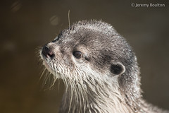 Expectant (JKmedia) Tags: food rescue fish wet face animal tongue closeup square paw shiny feeding bokeh whiskers devon claw otter chew feed aquatic captive buckfastleigh ottersandbutterflies boultonphotography