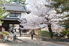 春之櫓門 (Wunkai) Tags: japan 桜 cherryblossom sakura さくら 茨城 土浦 ibarakiken 亀城公園 tsuchiurashi kijopark 霞門 kijokoen yaguragate 太鼓櫓門