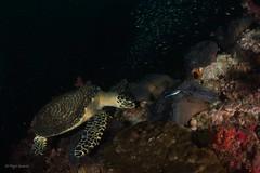 "similandivingsafaris.com:hawksbill turtle.jpg"" alt=""Hawksbill Turtle"" :> (similandivingsafaris) Tags: ocean fish macro water coral thailand aqua scuba diving scubadiving corals khaolak andamansea underwaterphotography liveaboard similanislands kohbon kohtachai dolphinqueen worldfamousrichelieurock similanexplorer"