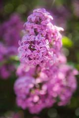 люлякът ми замириса (dobromir.dimitrov) Tags: park pink green colors garden outdoors spring flora colorful bokeh depthoffield lilac scent