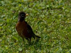 P4272079.jpg (MizGingerSnaps) Tags: usa birds virginia spring robins april williamsburg 2016 robinsnest intheyard
