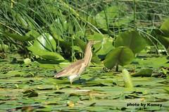 IMG_2648 (1).jpg (Komey (Dusko Kovacevic)) Tags: lac oiseau ptica skadar montnegro