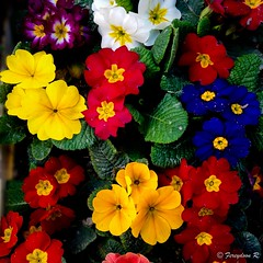 The magic of spring (Fereydoon Rezvani) Tags: plant flower colors spring iran tehran primula