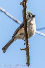 Tufted Titmouse (Roemello) Tags: nature birds animals wildlife tuftedtitmouse