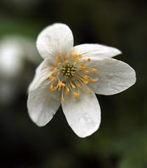 May day in Killynether wood (yamahagarn) Tags: bokeh northernireland anemonenemorosa woodanemone killynetherwood beyondbokeh