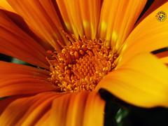 Flor (mlinares2505) Tags: parque naturaleza macro jardin naranja petalo miguellinares fz200