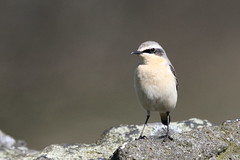Northern Wheatear (Oenanthe oenanthe) (sdflickr2) Tags: leicestershire hills warren northern wheatear lrwt