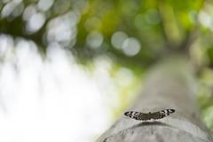 Ready to fly (Daniela Romanesi) Tags: tree textura nature butterfly wings borboleta tronco rvore voar asas decolagem 0818 s151