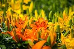 Sea of Lilies (Gabriel FW Koch) Tags: flowers light orange sun sunlight black macro green yellow closeup canon garden outside shadows lily natural bokeh gardening naturallight lilies buds crowded