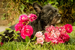 Sweet Spring (Maggie McGunigle) Tags: light roses portrait dog pet plant flower dogs grass rose puppy relax 50mm pentax sweet outdoor donkey wirehaired smell petrait k50 wirey