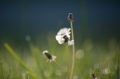 DSC_0813 (memories by marsha photography) Tags: morning flowers landscape spring aperture nikon purple naturallight dew lilacs dandilion prettyflowers floweres nikond700 marshawoodrum apetureshutterspeed