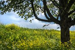 Yellow spring (marielledevalk) Tags: sky plant tree yellow spring outdoor horizon