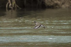 SPOTTED SANDPIPER (nsxbirder) Tags: flight indiana brookville whitewaterriver spottedsandpiper franklincounty actitismacularius