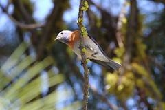 Western bluebird, Sialia mexicana (jlcummins - Washington State) Tags: bird nature wildlife hike washingtonstate westernbluebird yakimacounty