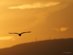 BIF silhouette (White-faced Heron) (Vas Smilevski) Tags: bird birds silhouette australia olympus richmond nsw bif australianbirds em1 mc14 getolympus olympusau olympusomdem1 mzuiko300mmf4pro