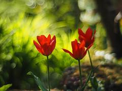 Die Tulpe... (Quitschiehund) Tags: rot bokeh garten tulpen leverkusen japanischer primoplan