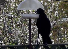 Tip toe crow (green gennii) Tags: feeder jersey raiding carrioncrow tiptoecrow