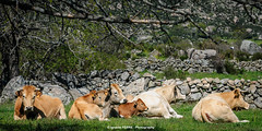 Cattle (Ignacio Ferre) Tags: primavera mammal cow spring nikon cattle ganado vacuno livestock vaca ternera ternero bovino mamfero heifer bostaurus bvido