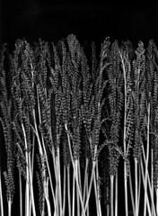 57253.01 Onoclea sensibilis (horticultural art) Tags: blackandwhite bw fern forest dried sensitivefern onocleasensibilis onoclea fertilefronds horticulturalart